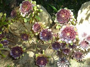 Photo: #020-Aeonium arboreum (chou en arbre) au Club Med de Bodrum