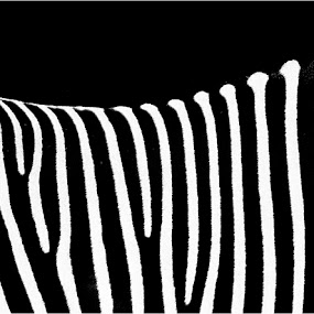 Zebra by Irina Popova - Animals Other ( abstract, animals, white, zebra, panorama, black )
