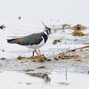 Avefría (Northern lapwing)