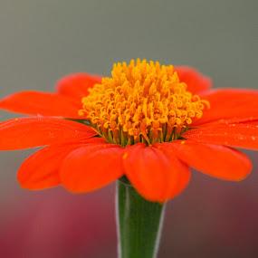 Yasir Saeed Photography by Yasir Saeed - Flowers Single Flower (  )