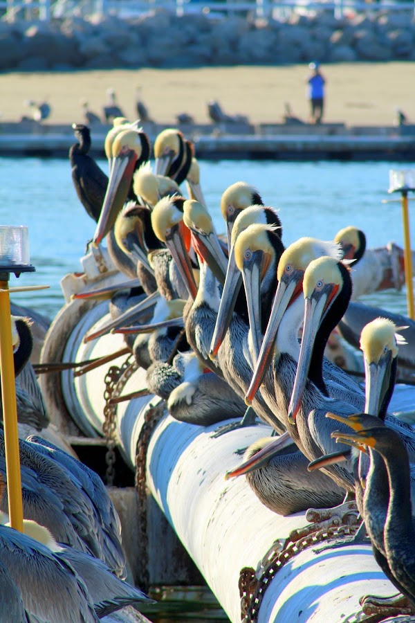 Pelican haven by Greg Harrington - Animals Birds