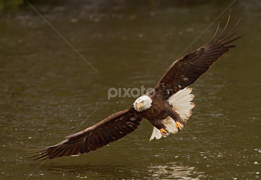 Bald Eagle by Herb Houghton - Animals Birds ( wild, eagle, bird of prey, bald eagle, raptor, herbhoughton.com )