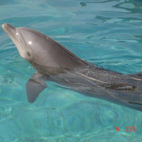 Dolphin by Shishir Desai - Animals Fish ( water, dolphin, fish,  )