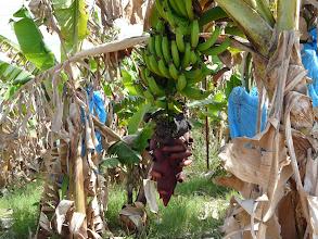 Photo: Bananenplantages