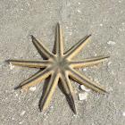 Nine-armed Sea Star