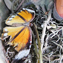 Palmfly Butterfly