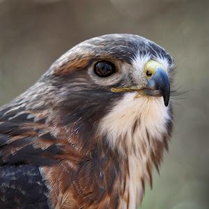 red tail hawk-2.jpg