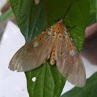 Two-spot Tiger moth