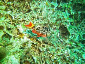 Photo: Stoplight Parrotfish
