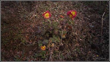 Photo: Crizanteme - de pe Str. Rapsodiei, spatiu verde la bloc - 2017.11.08