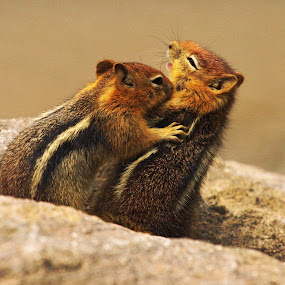 Golden-mantled Ground Squirrels by Andrew Johnson - Animals Other Mammals ( nature, squirrels, play, wildlife, mammal, animal,  )