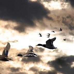 Paddling West by BethSheba Ashe - Animals Birds ( clouds, migration, animals, mallard, moving, paddling, ducks, sunlight, storm, flock, birds, flight, waterfowl, sunset, outdoors, three, duck, pwcmovinganimals, weather, honkers )
