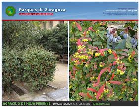 Photo: Agracejo de hoja perenne
