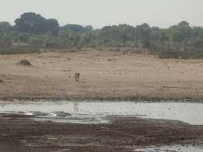 Photo: Why? Oh, because a lioness is approaching the waterhole.