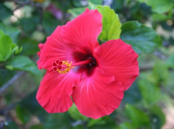 Hibiscus Rinse For Red Heads Recipe