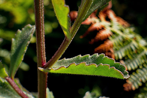 Leucanthemum merinoi
