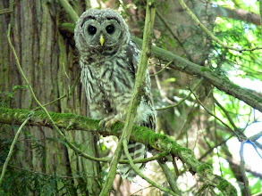 Photo: Barred Owlet at about 3 months old
