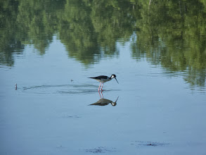 Photo: black-necked stilt photo by Aaron Pierce