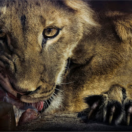 the feast  by Dries Fourie - Animals Lions, Tigers & Big Cats