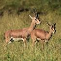 Chinkara  -  Indian Gazelle