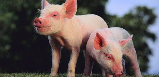 cute pigs wallpaper apps on google play