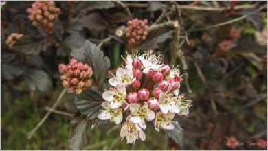 """Photo: Fizocarp roșu """"Diabolo"""" (Physocarpus opulifolius """"Diabolo"""") - din Turda, Parcul Teilor - 2019.05.15"""