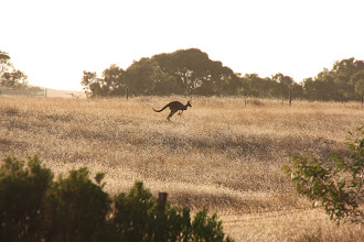 Photo: Year 2 Day 226 - Early Morning Kanga is Spooked Now