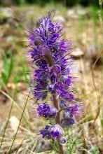 """Photo: Purple Fringe or """"Pincushion"""""""