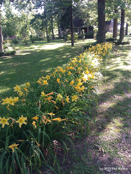 Photo: Yellow Day Lilies