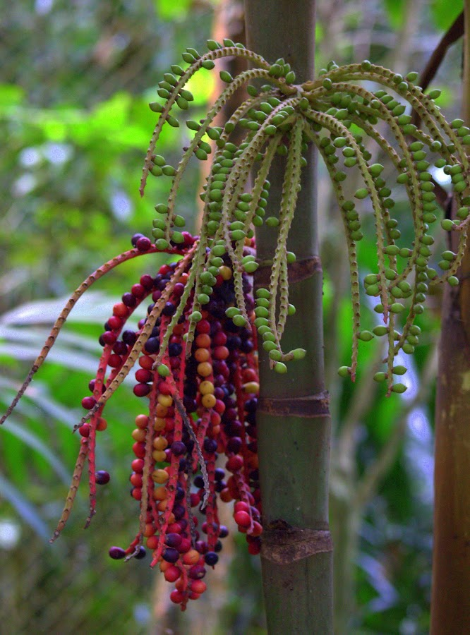 Bamboo Berries by Mina Thompson - Flowers Tree Blossoms ( bamboo, nature, tree, tropical, costa rica, beads, flowers, blossoms,  )