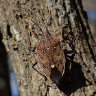 Eucalyptus shield bug