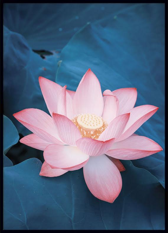 Lotus Flower, Poster