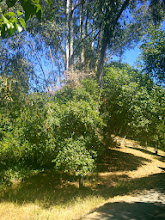 Photo: The eucalyptus is a re-sprout. It outcompetes the oaks for water and other nutrients. The dead branch on top of the oak canopy was likely the result of a falling eucalyptus limb.