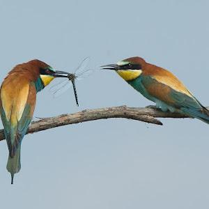 D:\01 GALERIJA FOTO\01 ptice\Čebelar - Rumenogrli čebelar - Merops apiaster\cebelar-23.jpg