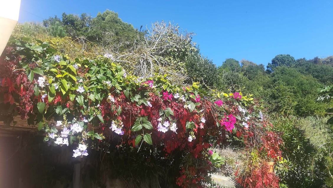 Thunbergia and Bougainvilleas on the kitchen trelis.