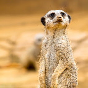 Meerkat by Andrew Moore - Animals Other (  )