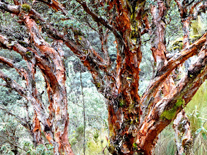 Photo: Polylepis sheds its bark prolifically