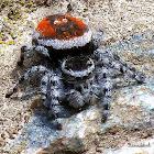 Jumping Spider (♀)