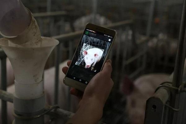 China opta por novas tecnologias para reforçar controle de qualidade na produção de suínos. (Fonte: Yangxiang/Divulgação)