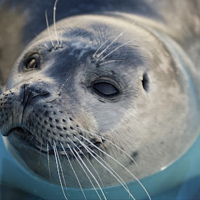 Baby Harbour Seal by Mike Ellis - Animals Sea Creatures