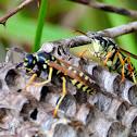 Paper wasp; Avispa papelera