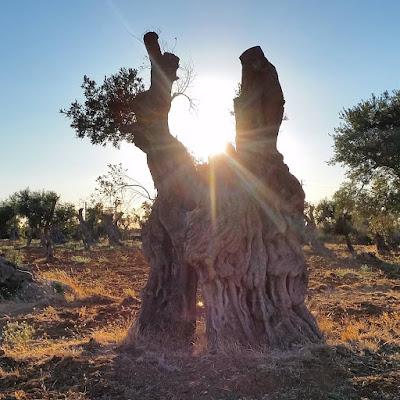 Il tramonto in un ulivo di Stefano Rizzo
