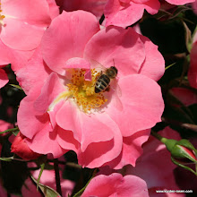 Photo: Beetrose Unicef-Rose®, Züchter: W. Kordes' Söhne 2007