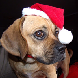 Santa's helper by Linda Tribuli - Animals - Dogs Portraits ( dogs,  )