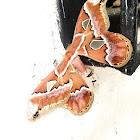 polilla or moth