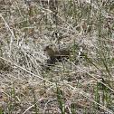 Thirteen lined ground squirrel