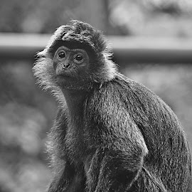 Monkey see monkey do by Gerry Setiawan - Animals Other