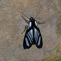 Moth Strigosa