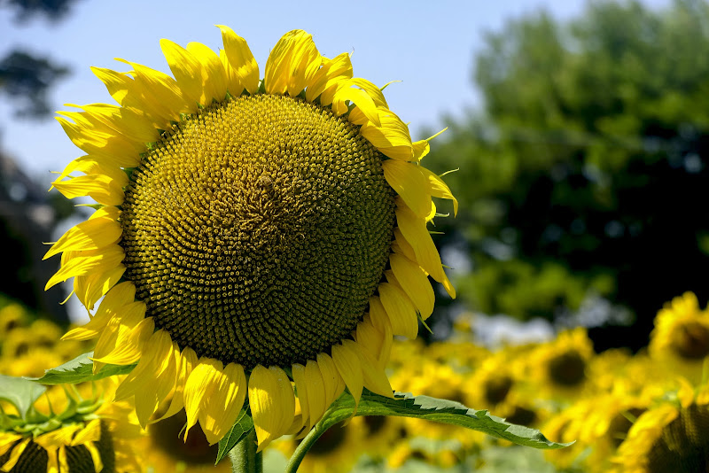 Il fiore giallo di leorol