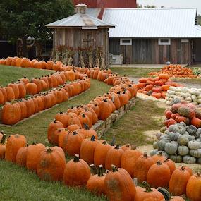 Pumpkikn Patch by Shannon Maltbie-Davis - Public Holidays Halloween ( orange, pumpkin patch, barn, pumpkins, halloween,  )